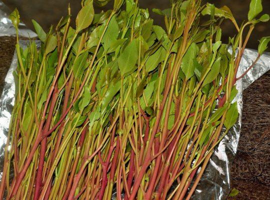 شكل نبات القات