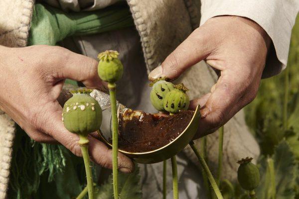 شكل نبات الأفيون